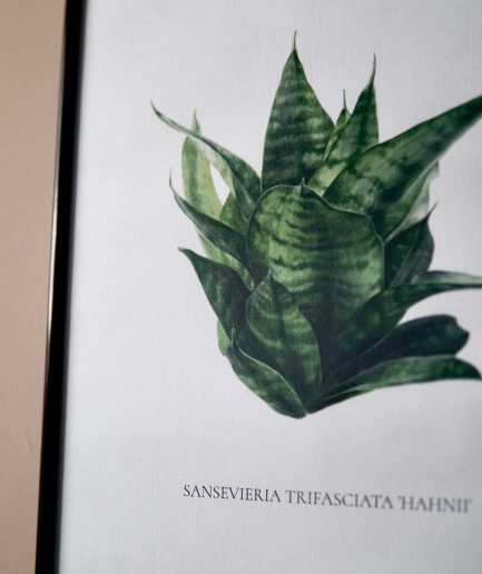Botanical watercolour poster print SANSEVIERIA